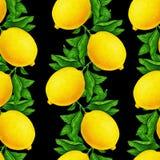 Stor illustration av härliga gula citronfrukter på en filial med gröna sidor som isoleras på en svart bakgrund vattenfärg vektor illustrationer