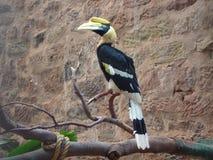 Stor indisk Hornbill - Bucerosbicornis arkivfoton