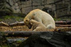 Stor isbjörn under ett regn med småbarnet Skämtsamt och nyfiket lynne på vilda djur Natur royaltyfri foto