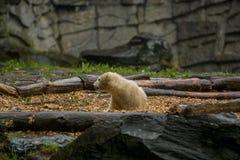 Stor isbj?rn under ett regn med sm?barnet Sk?mtsamt och nyfiket lynne p? vilda djur Natur royaltyfria bilder