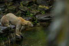 Stor isbj?rn under ett regn med sm?barnet Sk?mtsamt och nyfiket lynne p? vilda djur Natur arkivfoton