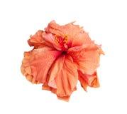 stor isolerad blommahibiskus Royaltyfri Fotografi