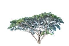 Stor isolerad trädväxt arkivbild