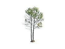 stor isolerad tree Royaltyfria Bilder