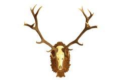 Stor jakttrofé av fullvuxna hankronhjorten för röda hjortar Fotografering för Bildbyråer