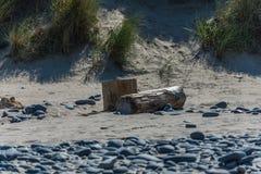 Stor journal på den Ynyslas stranden Royaltyfri Bild