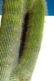 Stor kaktus Royaltyfri Bild