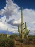 stor kaktus Arkivfoton