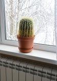 Stor kaktus i en kruka Royaltyfri Foto