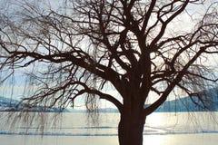 Stor kal trädkontur Solsken på iskall sjöbakgrund Fotografering för Bildbyråer