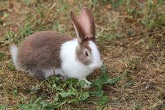 Stor kanin med mycket långa öron Fotografering för Bildbyråer