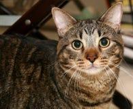stor katt Fotografering för Bildbyråer