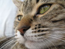 stor katt Arkivfoto