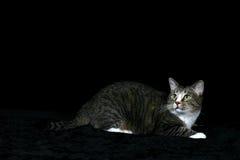 stor katt för inställning Royaltyfri Foto