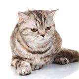 Stor katt, härlig katt, fullblods- katt, fluffig katt, stolt katt - gullig skotsk rak katt Royaltyfri Bild