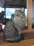 Stor katt i fönstret Royaltyfri Fotografi