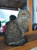 Stor katt i fönstret Arkivfoton