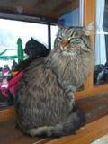 Stor katt i fönstret Royaltyfria Foton