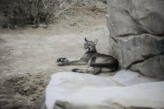 Stor katt som sover i zoen Royaltyfri Bild
