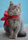 stor kattgray Royaltyfri Fotografi