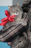 stor kattgray Royaltyfri Foto