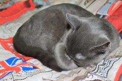stor kattgray Royaltyfria Foton
