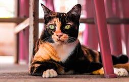 stor kattorange Royaltyfria Foton