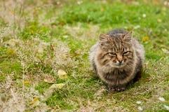 stor katttabby Arkivfoton