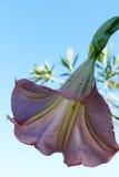 Stor klockablomma, underifrån Royaltyfri Fotografi