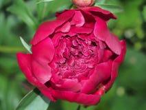 Stor knopp av en pion röda blommapetals Arkivfoto