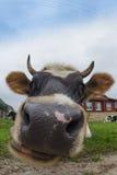 Stor ko fotografering för bildbyråer