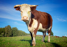 Stor ko på ängen arkivbild
