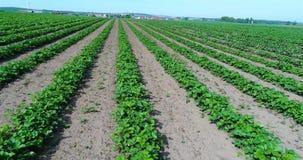 Stor koloni av jordgubbar, jordgubbefält, stort välsköttt jordgubbefält