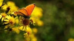 Stor koppar - fjäril Arkivfoto