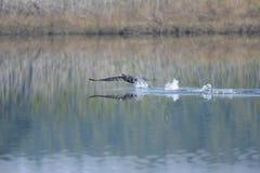 Stor kormoran i en sjö Royaltyfri Fotografi