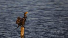 Stor kormoran på pol Royaltyfria Foton