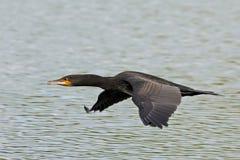 Stor kormoran (Phalacrocoraxcarbo) Arkivfoton