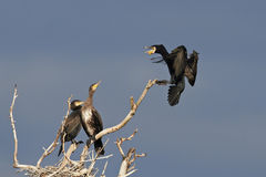 Stor kormoran (Phalacrocoraxcarbo) Arkivfoto