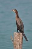 Stor kormoran (Phalacrocoraxcarbo) Royaltyfri Foto