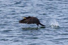 Stor kormoran som tar av Royaltyfria Foton