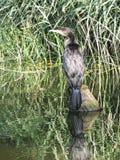 Stor kormoranfågel Royaltyfri Foto