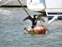 Stor kormoranfågel Fotografering för Bildbyråer