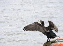Stor kormoranfågel, Litauen Arkivfoto