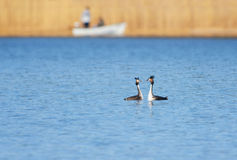 Stor krönad dopping, waterbird, i att para ihop säsong royaltyfri fotografi