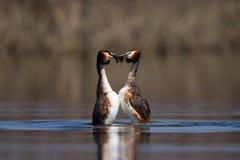 Stor krönad dopping, waterbird (Podicepscristatus) i att para ihop säsong arkivfoto