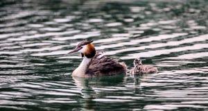 Stor krönad dopping, waterbirdPodicepscristatus Royaltyfri Foto