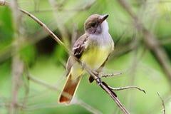 stor krönad flycatcher Royaltyfria Bilder