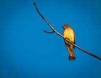 stor krönad flycatcher Royaltyfria Foton