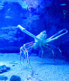 Stor krabba i akvarium arkivfoton