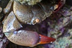 Stor krabba med den röda jordluckraren arkivfoton